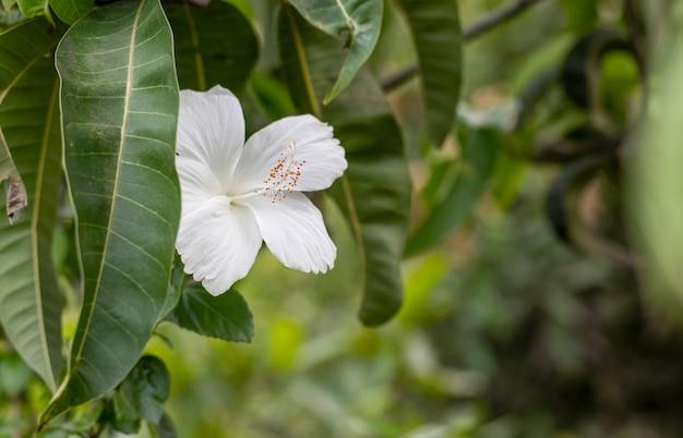庭のマンゴーの葉の下に満開の白いハイビスカス・ロサ・シネンシスの花がコピースペースでクローズアップ