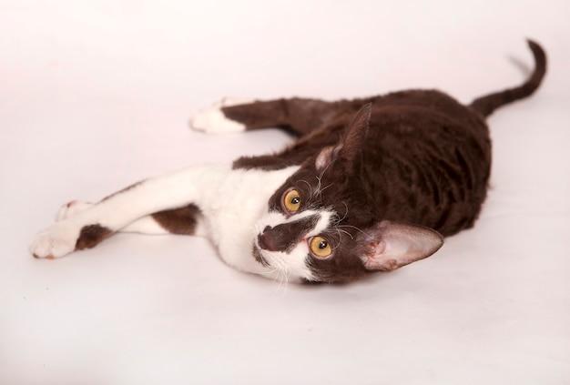 재미있는 호기심 어린 흰색과 갈색 데본 렉스 새끼 고양이 영어 품종의 짧은 머리 고양이 앉아. 흰색 배경에 고립