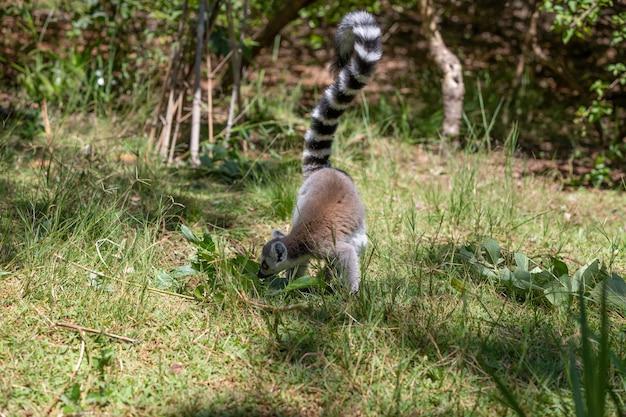Забавный кошачий лемур в естественной среде обитания.