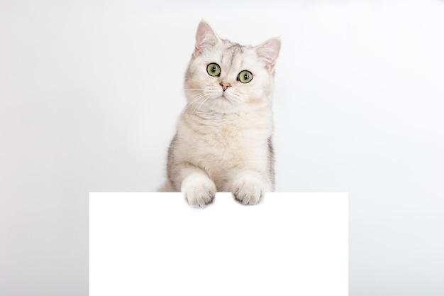 재미있는 흰색과 은색 영국 고양이는 텍스트를 넣을 수 있는 가로 엽서에 서 있습니다.