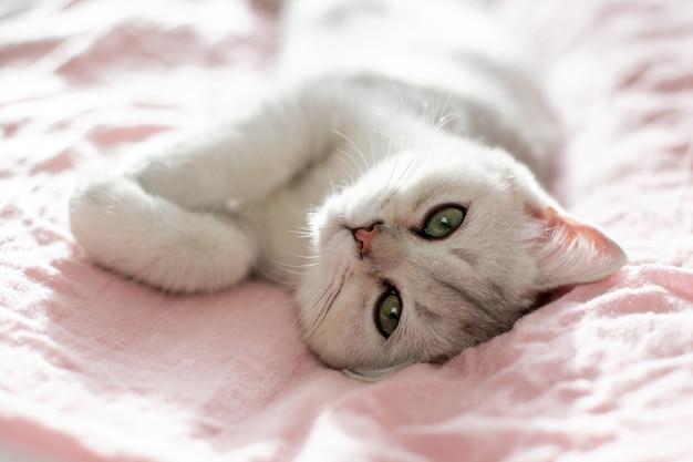 Забавный белый британский котенок лежит на спине на розовой ткани