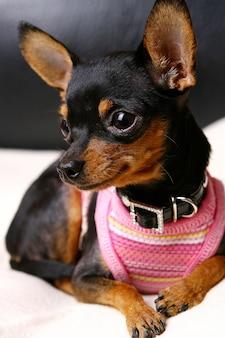 Прикольная собака на домашнем интерьере