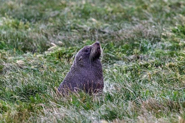 Морской котик отдыхает в траве