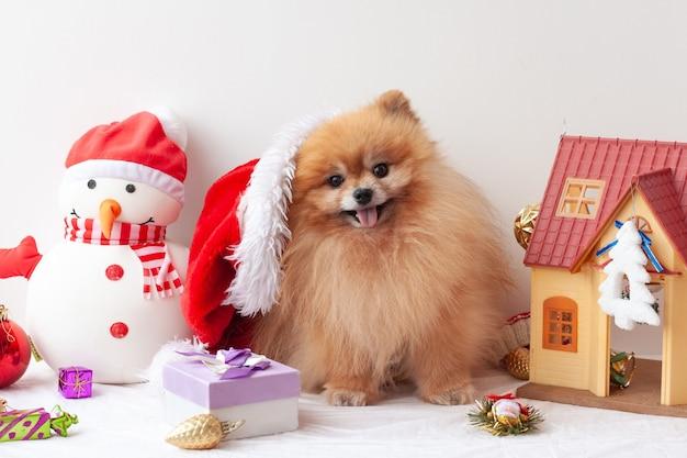 毛皮で覆われたポメラニアンが座ってカメラを見て、クリスマスのおもちゃの周りに横にスライドしたサンタクロースの帽子をかぶっています