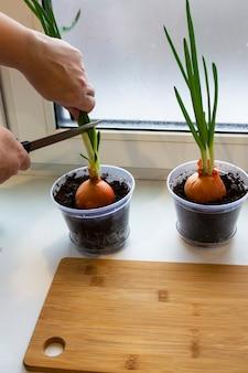 窓枠に若いタマネギの庭。窓枠にタマネギを育てる。自宅で新鮮なネギ窓枠の植木鉢で春タマネギを育てる屋内園芸。ねぎの新芽