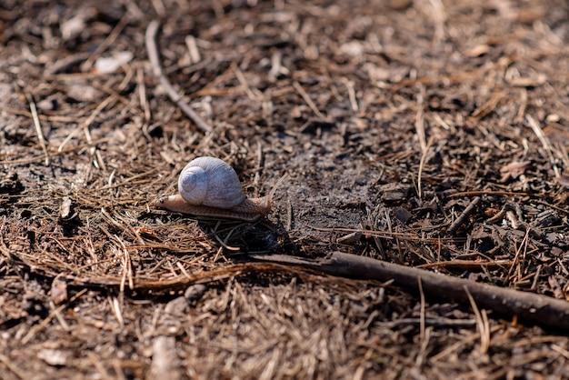 Садовая улитка ползет по мягкой лесной почве. виноградная улитка, общие названия римская улитка, бордовая улитка, съедобная улитка или улитка. мягкий выборочный фокус.
