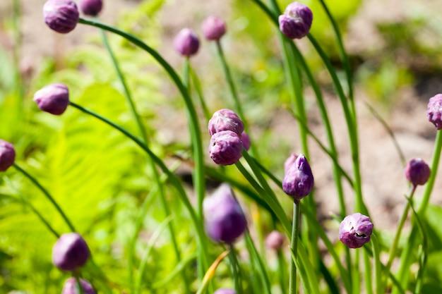 夏に紫の花とにんにくのつぼみが生える庭
