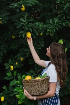 파란색 줄무늬 앞치마를 입은 정원사 소녀가 나무에서 익은 레몬을 골라 바구니에 담습니다