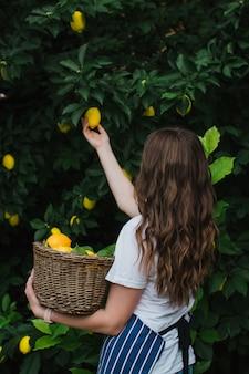 파란 줄무늬 앞치마를 입은 정원사 소녀가 카메라를 등지고 나무에서 익은 레몬을 따다