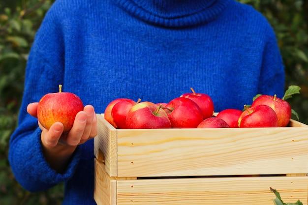 Садовник в синем свитере хранит красные блестящие спелые яблоки в ящике в саду. много сочных красных яблок в деревянном ящике. малый бизнес, запуск на ферме.