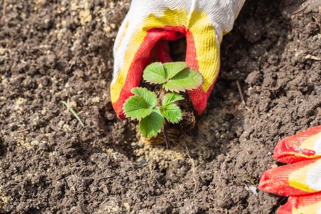 정원사가 땅에 딸기를 심고 있습니다.