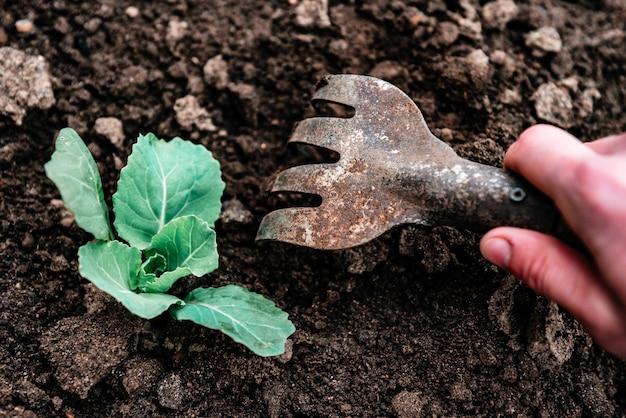 정원사의 손이 정원 갈퀴를 사용하여 녹색 양배추 주변의 흙을 풀고 있습니다.