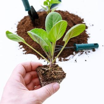 퇴비의 묘목 양배추 식물 옆에있는 원예 도구. 양배추 묘목은 땅에 심을 준비가되었습니다.