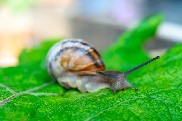 뿔이 있는 복족류 연체동물 달팽이가 녹색 잎을 기어가고 있습니다.