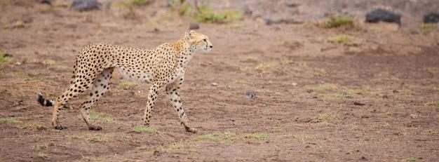 ケニアのサバンナにいるヒョウ
