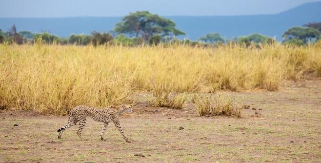 ケニアの草原にヒツジがいる