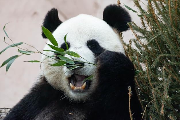 거대한 흑백 판다가 대나무를 먹고 있습니다. 큰 동물 클로즈업.