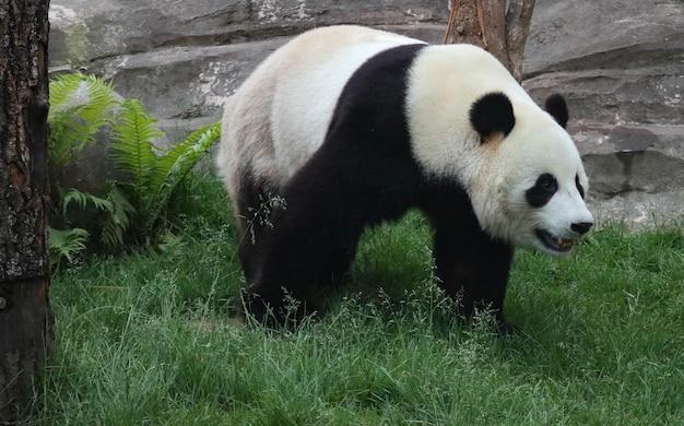 ジャイアントパンダが緑の芝生の上を歩いています。