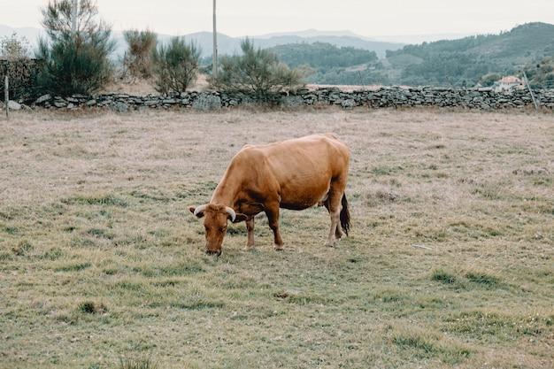 農場の真ん中で草を食べる巨大な茶色の牛