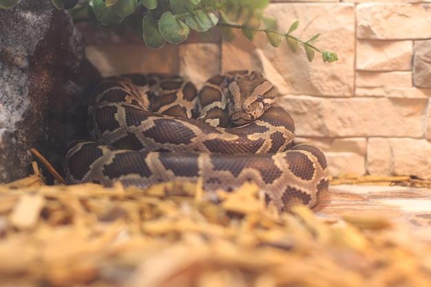 テラリウムで休んでいる巨大なニシキヘビ。美しいヘビの皮