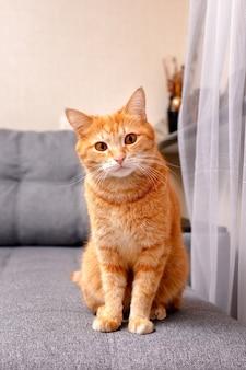 生姜猫が灰色のソファに座って、カメラを注意深く見ています