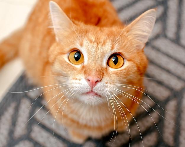 大きな丸い目を持つ生姜猫が注意深く注意深く見えます