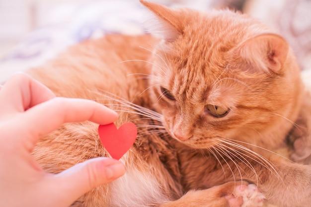 생강 뚱뚱한 고양이가 작은 빨간 종이 하트를 흥미롭게 바라 봅니다. 발렌타인 데이