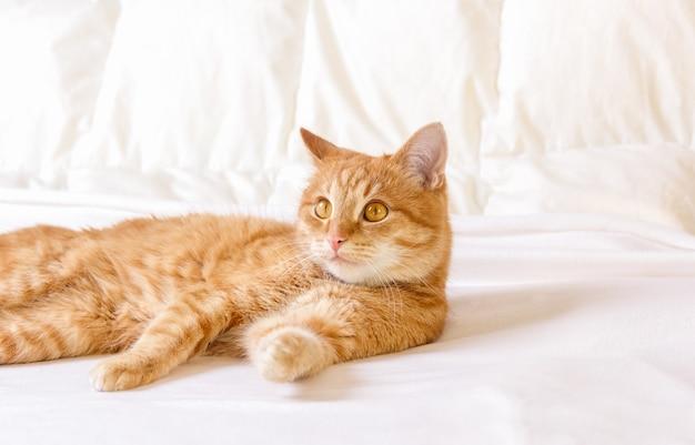 Рыжий домашний кот отдыхает в квартире на белом одеяле