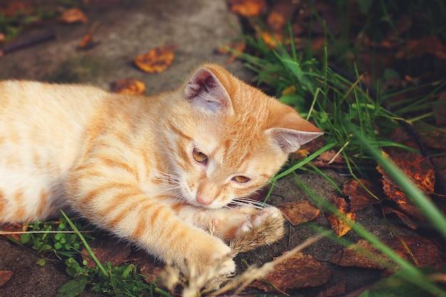 生姜の子猫が地面に横たわり、紅葉の横でひもで遊んでいます。