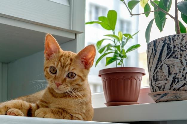 Рыжий котенок лежит на подоконнике рядом с растениями в цветочных горшках
