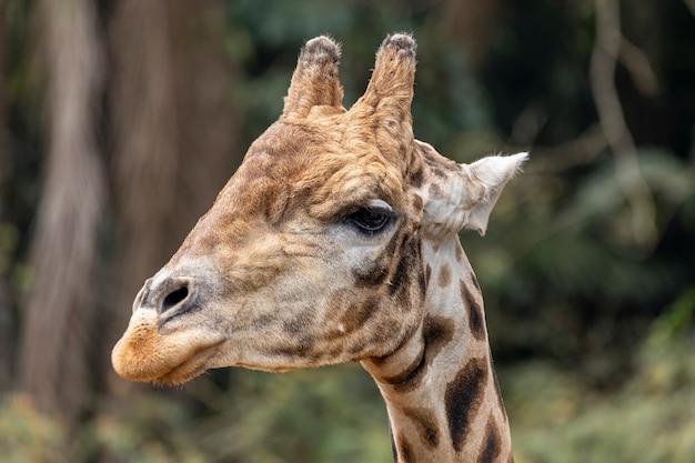 낮에는 기린(giraffa camelopardalis)