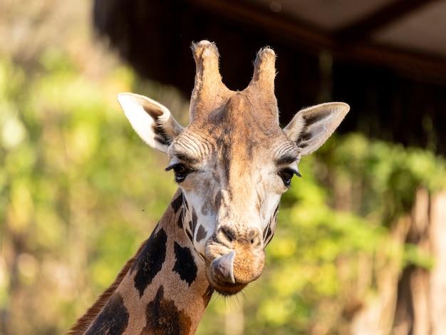 낮에는 기린(giraffa camelopardalis)입니다.