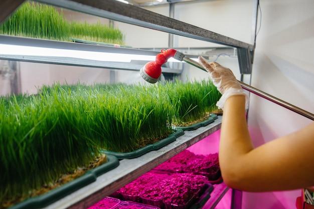 한 소녀가 현대 온실에서 미세 녹색 콩나물에 물을 주고 있습니다. 건강한 다이어트.