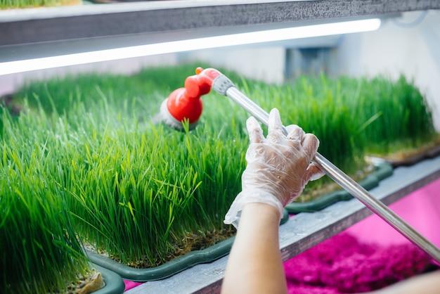Девушка поливает микро-зеленые ростки крупным планом в современной теплице. здоровая диета.