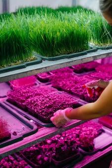 女の子は紫外線の下で現代の温室にマイクログリーンの芽のクローズアップを植えます健康的な食事