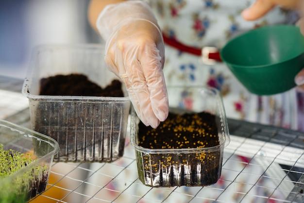 한 소녀가 현대 온실에서 마이크로 그린 클로즈업의 씨앗을 심습니다. 건강한 다이어트.