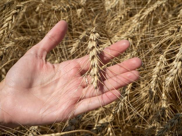 晴れた晴れた日には、女の子の手が小麦の芽を持っています。収穫時間の概念
