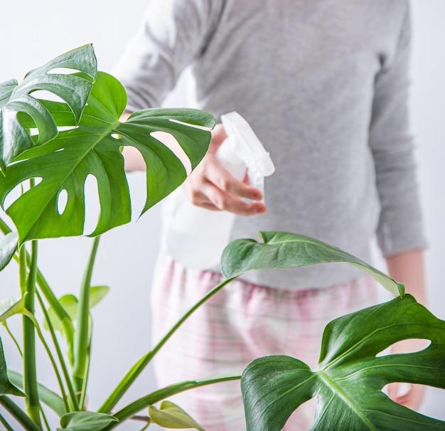 少女がモンステラ観葉植物に水を噴霧します。環境にやさしい生活、家事。閉じる