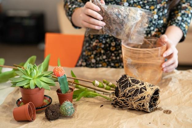 한 소녀가 난초 석곡 속 노빌을 새 냄비에 이식합니다. 소녀는 꽃 이식에 종사하고 있습니다. 난초 꽃 재배.