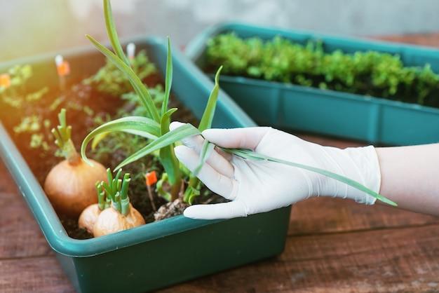 장갑 정원사는 창가에서 자라는 묘목을 돌보고 있습니다. 환경 친화적 인 제품