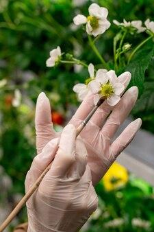 수분 과정에서 딸기 꽃과 붓을 든 장갑을 낀 손 프리미엄 사진