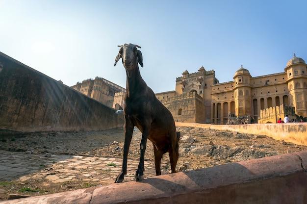 Коза в форте амбер в джайпуре, индия. джайпур - столица и крупнейший город индийского штата раджастхан.