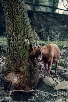 森の中で食べ物を探しているヤギ