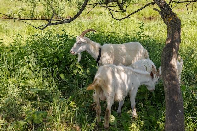川沿いの木陰に2人の子供を持つ山羊が立っています。ヤギは木の近くで緑の草を食べます。