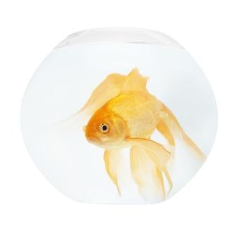 화이트 절연 수족관에서 황금 물고기입니다.