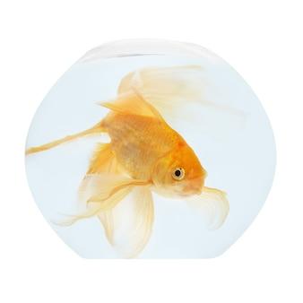 고립 된 수족관에서 황금 물고기