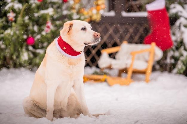 スカーフに身を包んだ金色のラブラドールが、装飾されたクリスマスツリーの近くに座って、冬の降雪時に住宅の中庭でそりをします。
