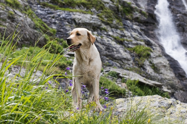 애완 동물과 함께 여행하는 폭포의 배경에 골든 리트리버