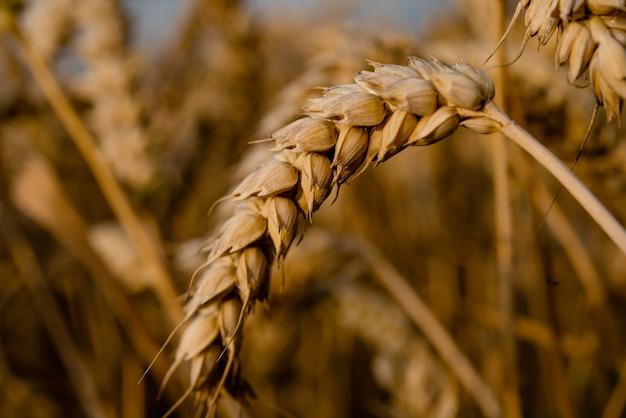 Золотая пшеница на поле в летний день