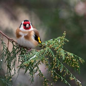 전나무에 앉아있는 goldfinch (carduelis carduelis).